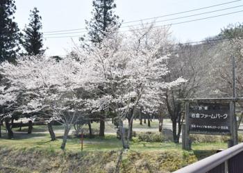 2020岩倉キャンプ場の桜...