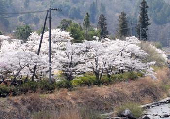 佐伯エリア・桜満開です。